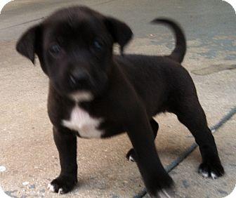 Terrier (Unknown Type, Medium)/Retriever (Unknown Type) Mix Puppy for adoption in CHICAGO, Illinois - SAM
