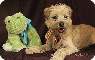 Shih Tzu/Chihuahua Mix Puppy for adoption in Kerrville, Texas - Vulcan