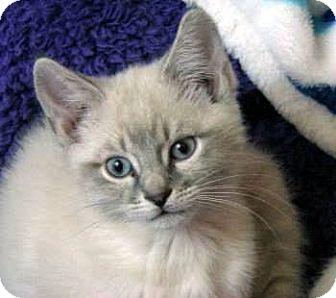 Ragdoll Kitten for adoption in Davis, California - Bamboozle