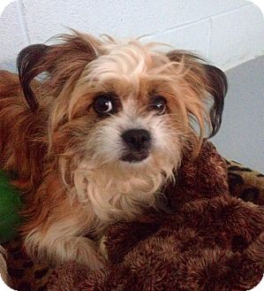 Shih Tzu/Chihuahua Mix Dog for adoption in Muskegon, Michigan - Ansley