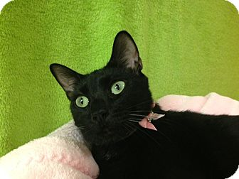 "Domestic Shorthair Cat for adoption in Foothill Ranch, California - Jasmine (aka ""Jazzy"")"