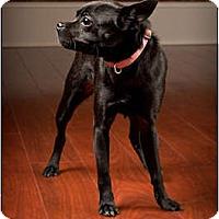 Adopt A Pet :: Little Bit - Owensboro, KY