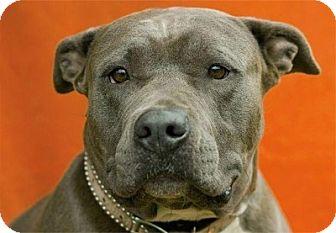 Mastiff Mix Dog for adoption in North Hollywood, California - Bertha