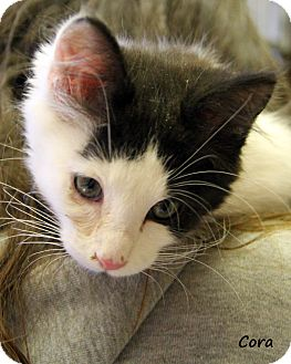 Domestic Shorthair Kitten for adoption in Divide, Colorado - Cora
