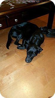 Border Collie Mix Dog for adoption in ST LOUIS, Missouri - Gemma