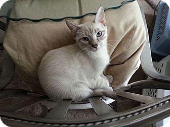 Siamese Cat for adoption in Orlando, Florida - Latte