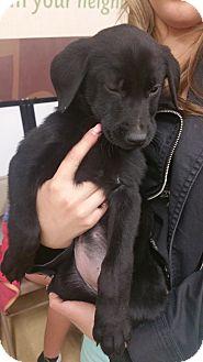 Pointer/Mountain Cur Mix Puppy for adoption in Ogden, Utah - Bramble