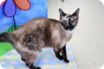 Siamese Cat for adoption in Bradenton, Florida - Eenee