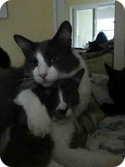 Domestic Shorthair Cat for adoption in Alamo, California - Izzy
