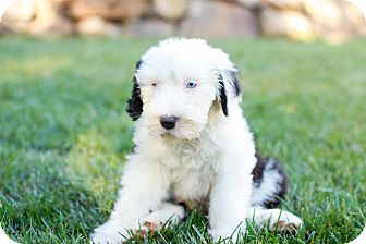 Old English Sheepdog Puppy for adoption in Auburn, California - Paisley