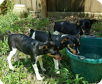Rat Terrier Puppy for adoption in Navarre, Florida - Salt