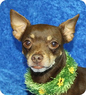 Chihuahua Mix Dog for adoption in Jackson, Michigan - Sully