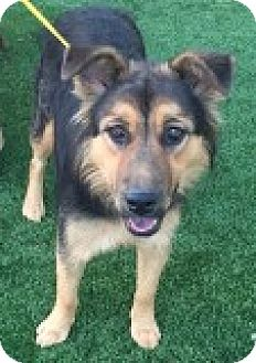 Shepherd (Unknown Type) Mix Puppy for adoption in Las Vegas, Nevada - Rose