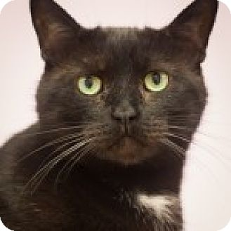Domestic Shorthair Cat for adoption in Circleville, Ohio - Tot