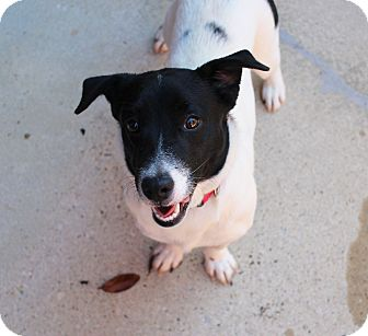 Jack Russell Terrier Mix Dog for adoption in Lumberton, North Carolina - Hugs
