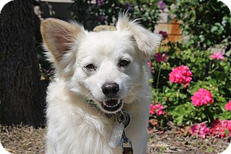 Spaniel (Unknown Type) Mix Dog for adoption in Los Angeles, California - Neptune