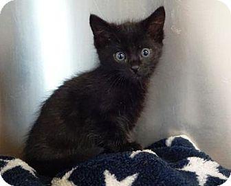 Domestic Shorthair Kitten for adoption in Lathrop, California - Bindi