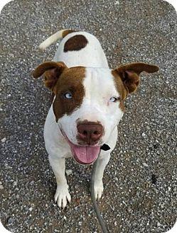 Pit Bull Terrier Mix Dog for adoption in Elgin, Oklahoma - Skye
