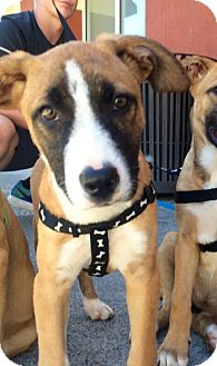 Shepherd (Unknown Type) Mix Puppy for adoption in Chico, California - Chester