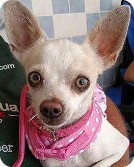 Chihuahua Mix Dog for adoption in San Diego, California - Bonnie