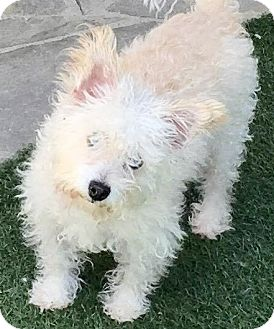 Poodle (Miniature)/Westie, West Highland White Terrier Mix Dog for adoption in San Pedro, California - Jacqueline