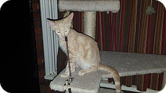 Domestic Shorthair Kitten for adoption in Statesville, North Carolina - Jeb