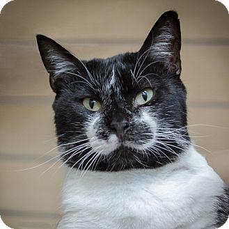 Domestic Shorthair Cat for adoption in Houston, Texas - Chris