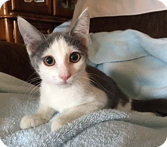 Domestic Shorthair Kitten for adoption in Lombard, Illinois - Schnapps