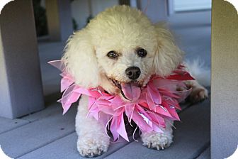 Bichon Frise/Poodle (Miniature) Mix Dog for adoption in Carlsbad, California - Nellie