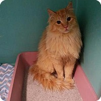 Domestic Longhair Cat for adoption in West Des Moines, Iowa - Puss In Boots