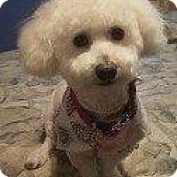 Bichon Frise/Poodle (Standard) Mix Dog for adoption in Hampton, Virginia - WHAMMIE