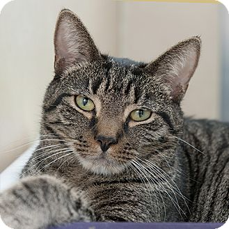 Domestic Shorthair Cat for adoption in Wilmington, Delaware - Nyles