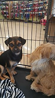 Beagle/Pug Mix Dog for adoption in Brownsville, Texas - Horris