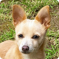 Adopt A Pet :: Socks - Kirkland, WA