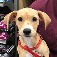 Adopt A Pet :: Trixie - Studio City, CA