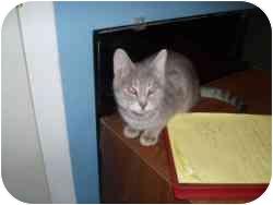 Domestic Shorthair Kitten for adoption in Hamburg, New York - Doormouse