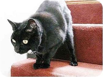 Domestic Shorthair Cat for adoption in petaluma, California - Monkey