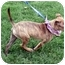 Photo 3 - Whippet/Terrier (Unknown Type, Small) Mix Puppy for adoption in Sacramento, California - Lola sweety
