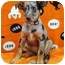 Photo 1 - Catahoula Leopard Dog Mix Puppy for adoption in Broomfield, Colorado - Muggles