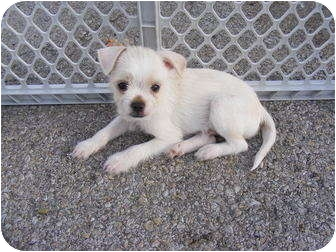 Shih Tzu/Miniature Schnauzer Mix Puppy for adoption in Rochester, New Hampshire - Shorty