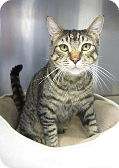 Domestic Shorthair Cat for adoption in Lafayette, California - Bob