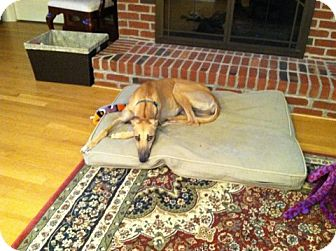 Greyhound Dog for adoption in Knoxville, Tennessee - Chelsa