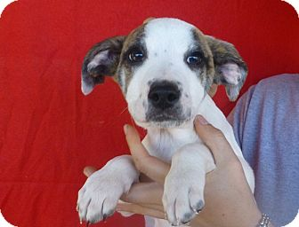 Labrador Retriever Mix Puppy for adoption in Oviedo, Florida - Bailey