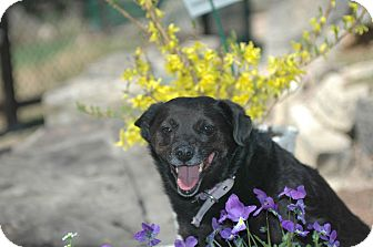 Schipperke Mix Dog for adoption in Ft. Collins, Colorado - Kallie