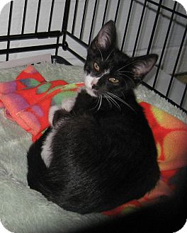 Domestic Shorthair Kitten for adoption in Geneseo, Illinois - Dudley