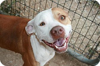 American Pit Bull Terrier Mix Dog for adoption in San Antonio, Texas - Lizzy