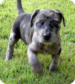 Catahoula Leopard Dog And Cats