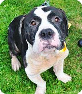 Mastiff Mix Dog for adoption in Sunderland, Massachusetts - Panda