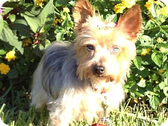 Yorkie, Yorkshire Terrier Dog for adoption in Jacksonville, Florida - ANGELITE