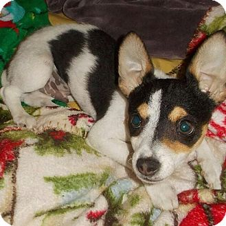 Jack Russell Terrier Puppy for adoption in north hollywood, California - Sketti Boo Boo